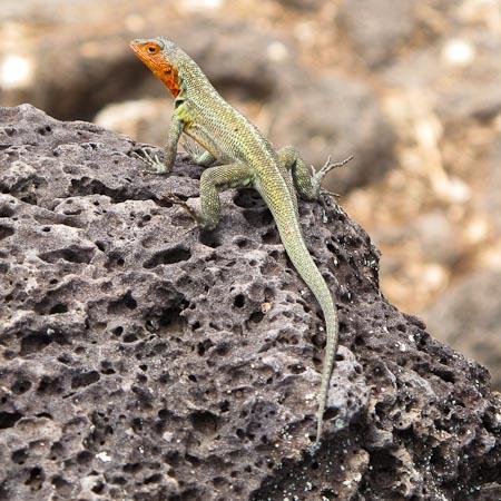 Galapagos_Lizard_10367